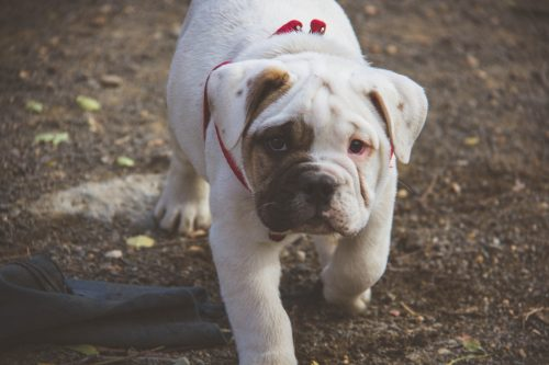 dog breeds with most health issues_canna-pet