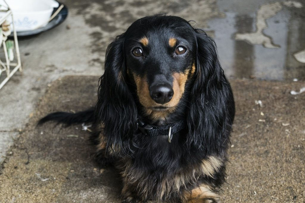 Are Dachshunds Hypoallergenic Canna Pet