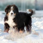 Bernese Mountain Dog Training Tips Canna Pet