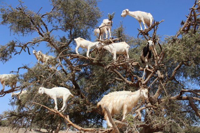 budget travel guide to essaouira, morocco goats