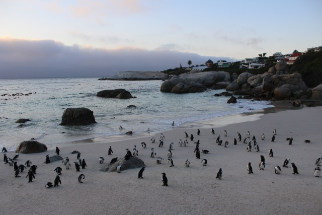 boulders beach cape town budget travel guide south africa