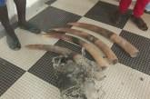 Trois gabonais interpellés avec 4 pointes d'ivoire et une peau de panthère