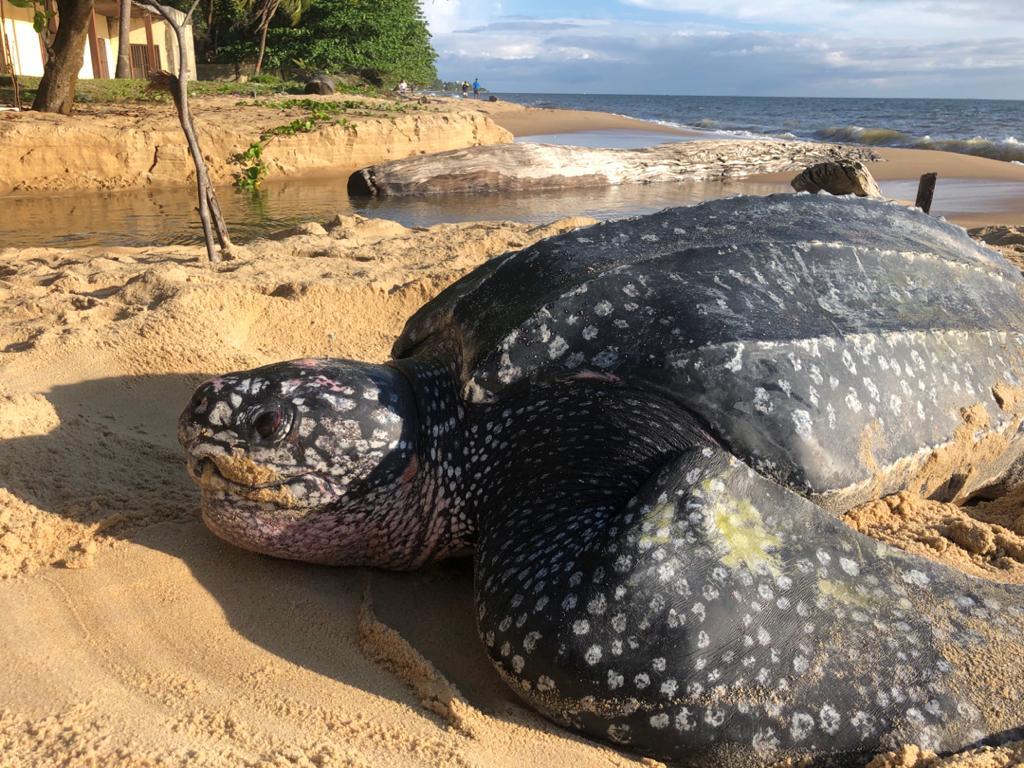 Une tortue luth s'offre en spectacle sur la plage de Mayumba