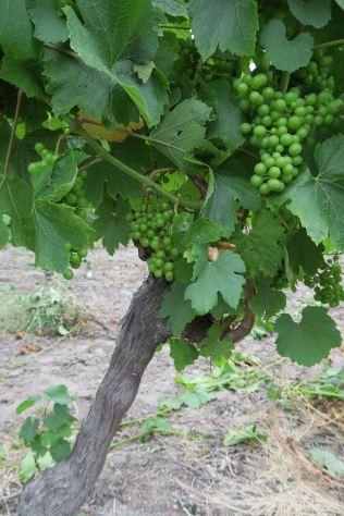Selbst Wein wird auf der Ile d'Oléron kultiviert