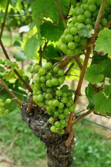 Wein_Pfalz_2