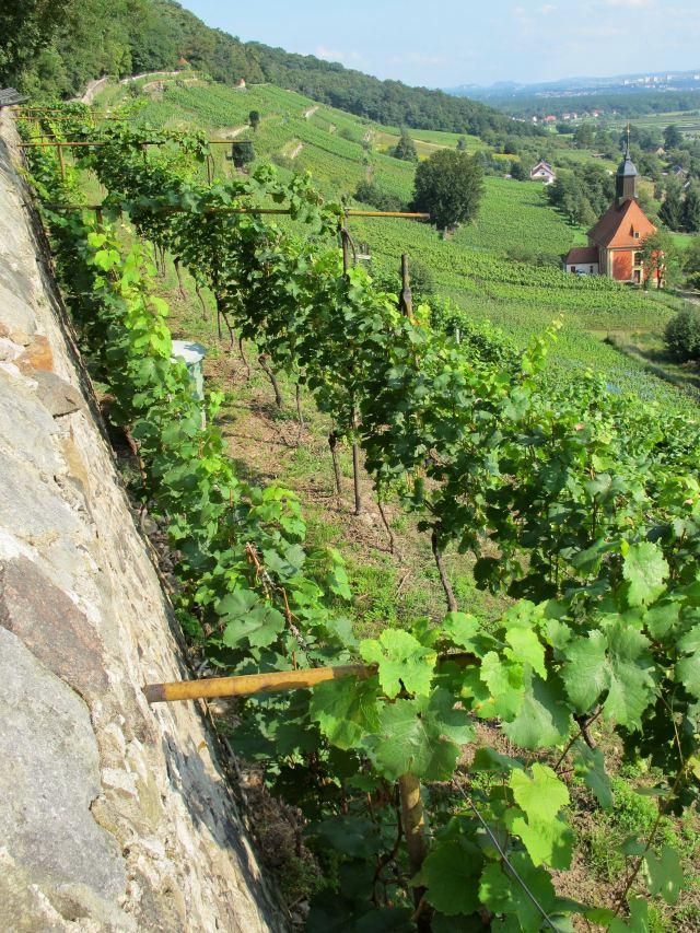 Sachsen Dresden Weinwanderweg