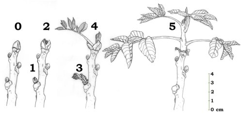 walnut phenology