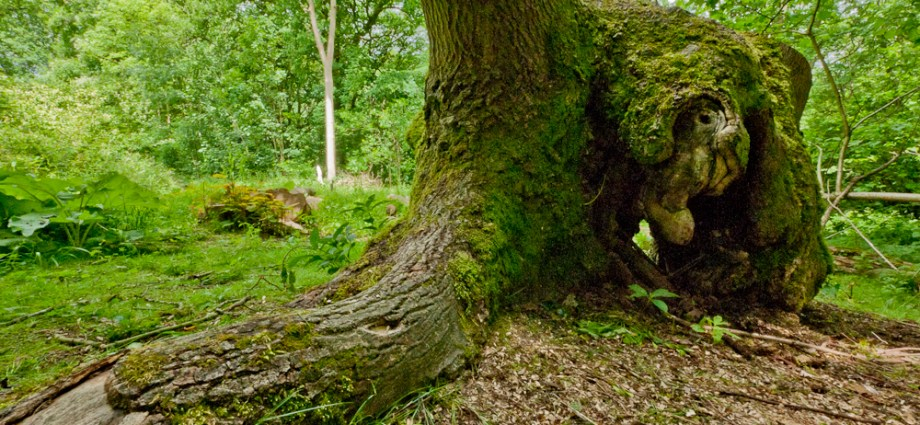 Ancient ash coppice stool