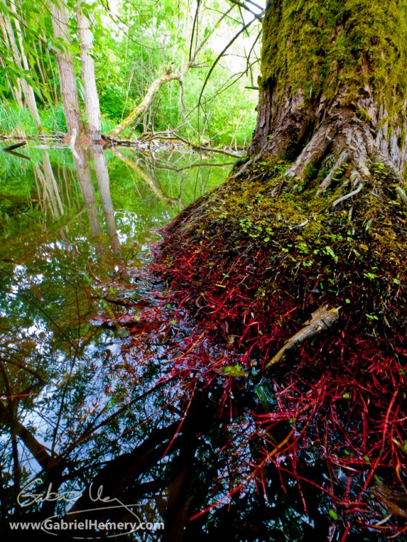 Willow roots in woodland pond