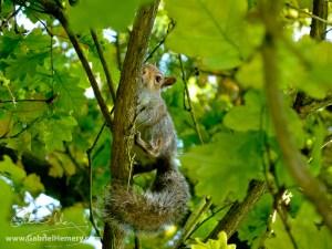 Grey squirrel in oak tree