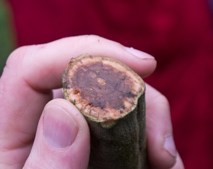 Necrosis caused by Chalara fraxinea on the wood of a young ash stem