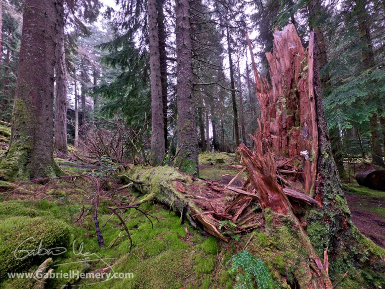A snapped stem as an early-stage nurse log