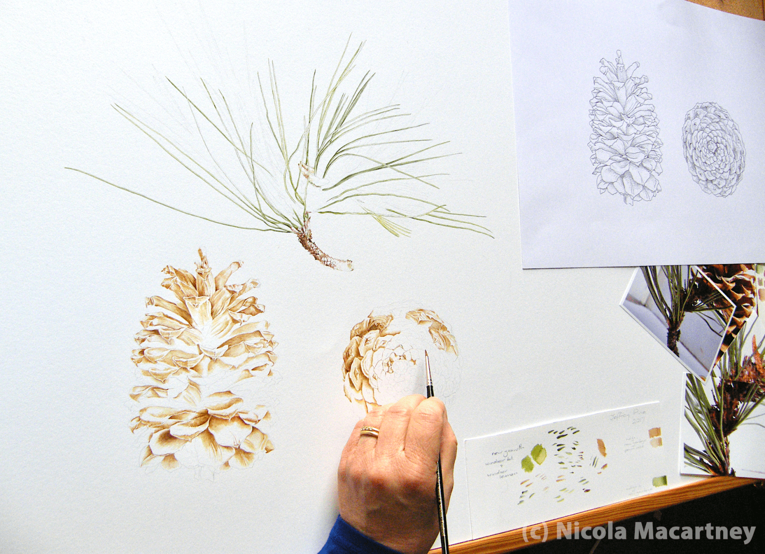 Jeffrey pine (Pinus jeffreyi) painting in progress by Nicola Macartney