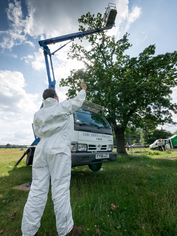 OPM-oak-tree-under-treatment-attracts-public-interest