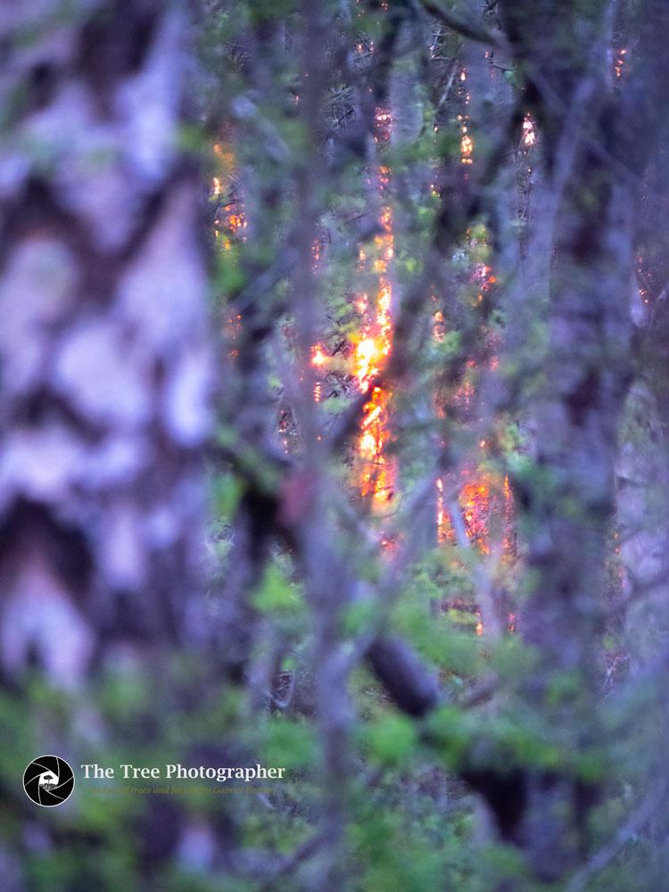The sun rises through a forest