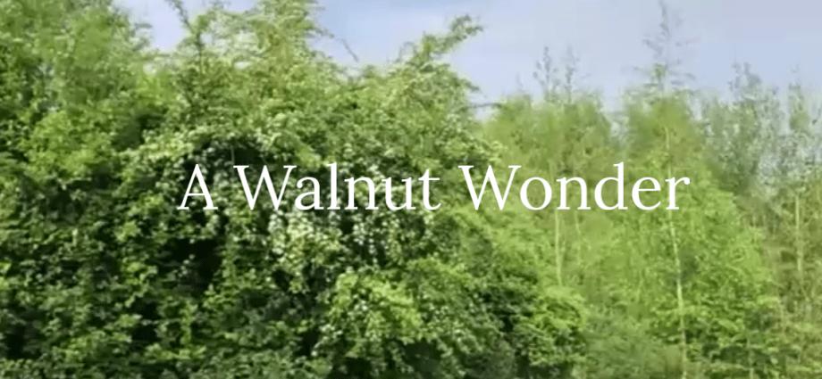 A Walnut Wonder