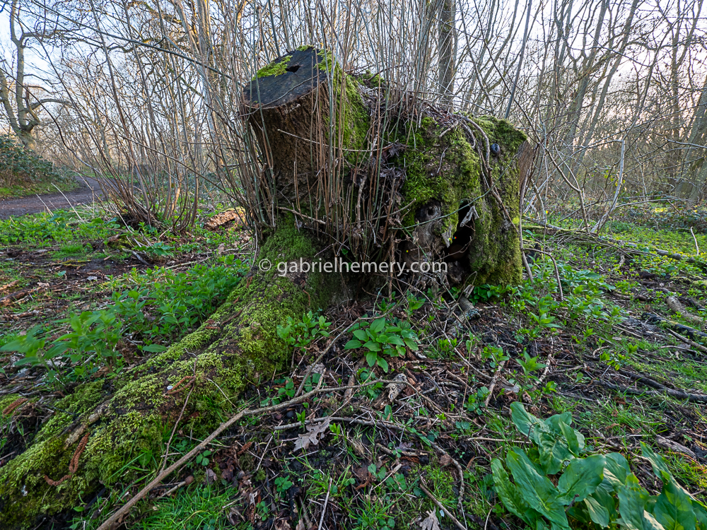 Ten years on the same ancient coppice stool has regrown but its young stems have been repeatedly killed by ash dieback and browsed by deer