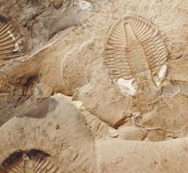 fossili di Burgess