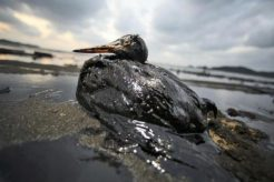 uccello-marino