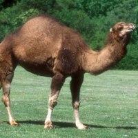 Gianni Rodari, Il dromedario e il cammello