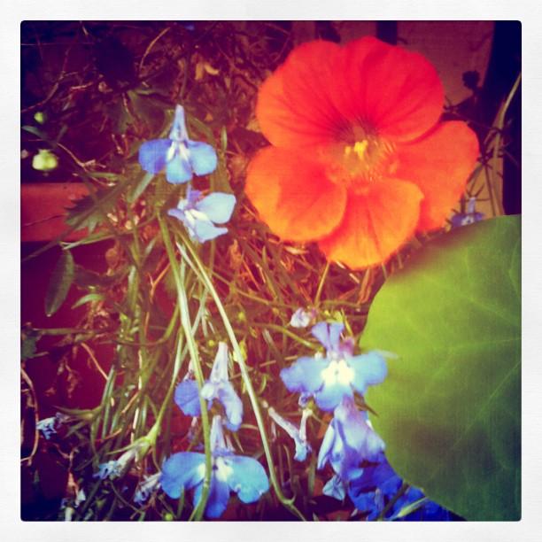 First nasturtium blossom yummy :)