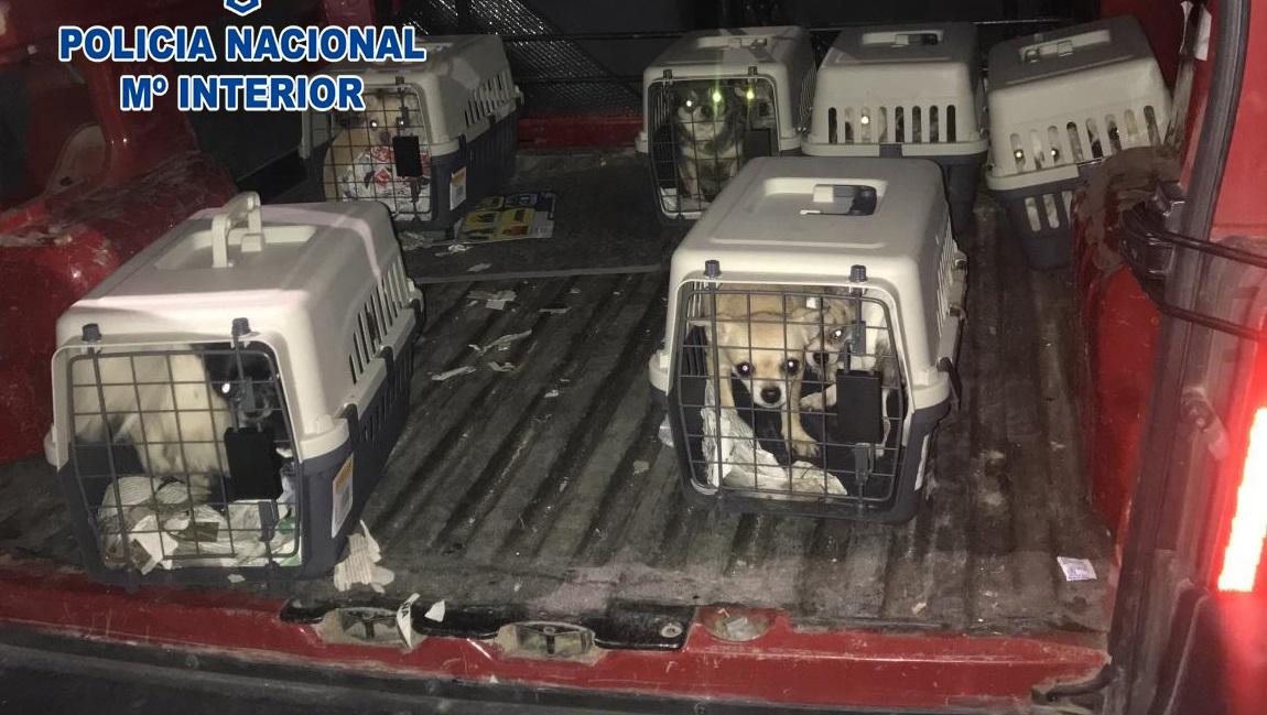 Desmantelado en Madrid un criadero ilegal de chihuahuas y rescatados 12 perros encerrados en una vivienda