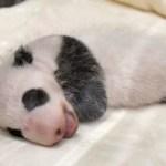 和歌山・アドベンチャーワールドの子パンダの名前公募が始まりました。