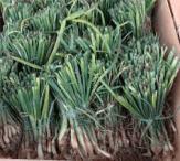 onion-set