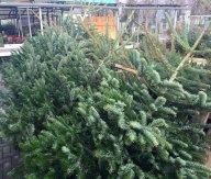 Weihnachtsbäume5