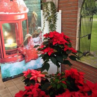 Weihnachtsstern_Weihnachtssterne_Advent_Erwitte_Gärtnerei_Enge