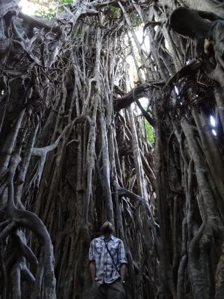 Cathedral fig tree (Copy)