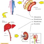 Drug distribution: Blood flow, capillary permeability and binding to proteins and tissues