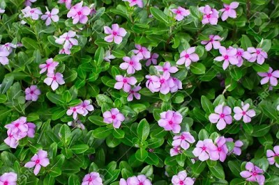 Vinca alkaloids are a subset of drugs obtained from the Madagascar periwinkle plant