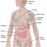 Sites of lymphatic system
