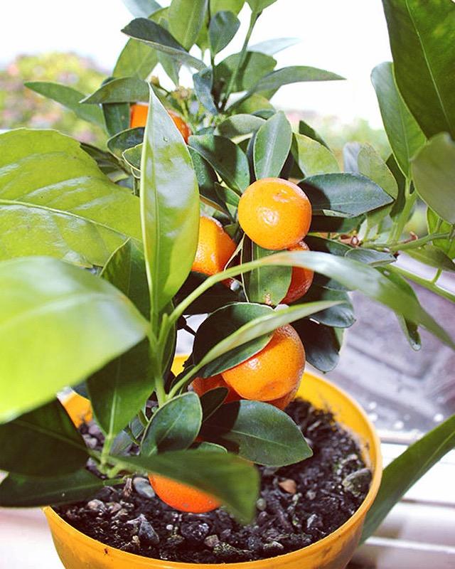 Citrus Calamondin indoor plant