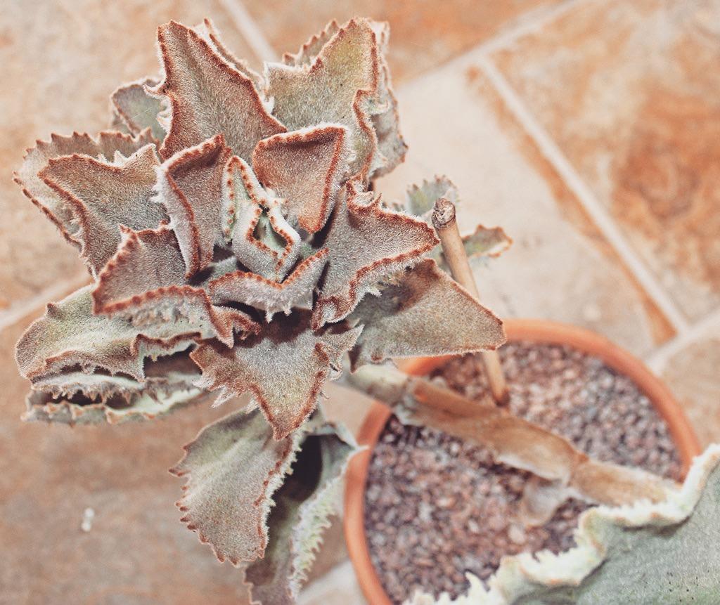 Kalanchoe Thyrsiflora indoor plant