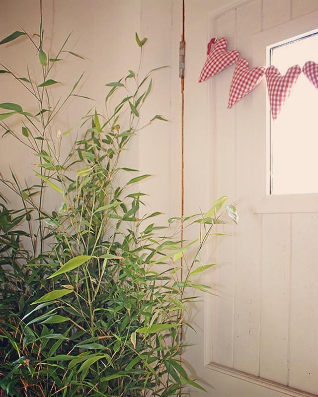 Bambusa Bissettii indoor plant