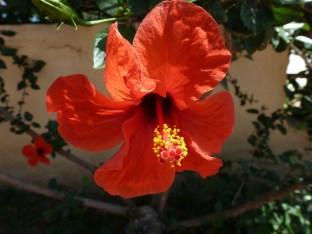 Hibiskus rote Blüte