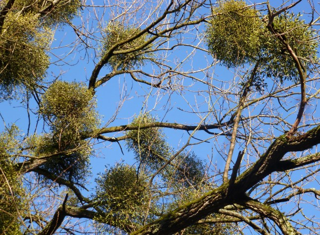 Baum mit Mistelbüschen
