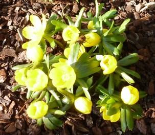 Gelbe Blütenstaude mit Wildbiene am 31.01.2014 gesehen