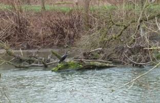 Kormoran an der Ahr wartet auf ein Fischlein