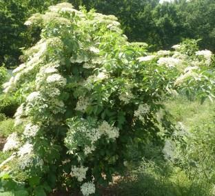 Holunderbusch am Rand des Weinberges