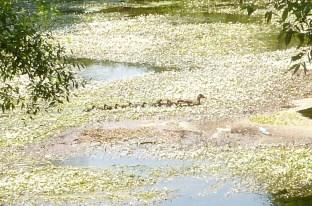 Vom Rotweinweg zur Ahr eine Entenmutter mit ihren Kücken