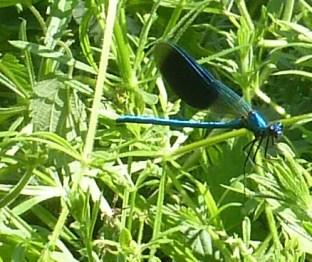 So zart und fein die Blaue Libelle