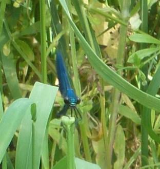Libelle in Lauerstellung