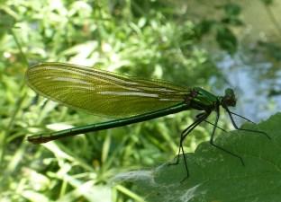 Eine prachtvolle Libelle
