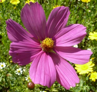 Rosane Blüte