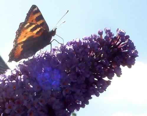 Schmetterling am Schmetterlingbusch