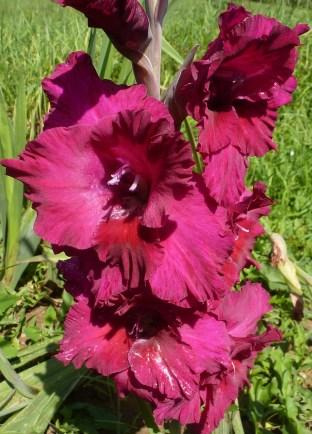 Lilarote Gladiole