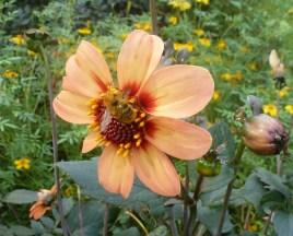 Asternblüte mit Biene